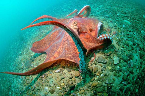 ВТихом океане отыскали новый вид огромных осьминогов