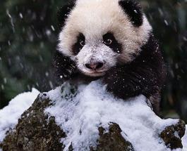 Хит дня: озорная панда вскружила голову пользователям Сети забавно играя со снеговиком
