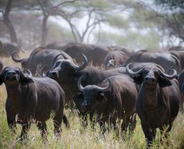 Забавное видео про животных: буйволы защитили слоненка от стаи львов