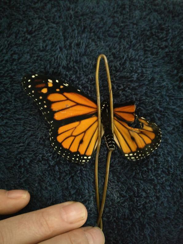 Уникальная трансплантация: американка сделала бабочке настоящую хирургическую операцию