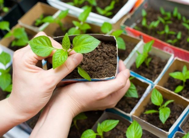 Можно ли уже сажать рассаду