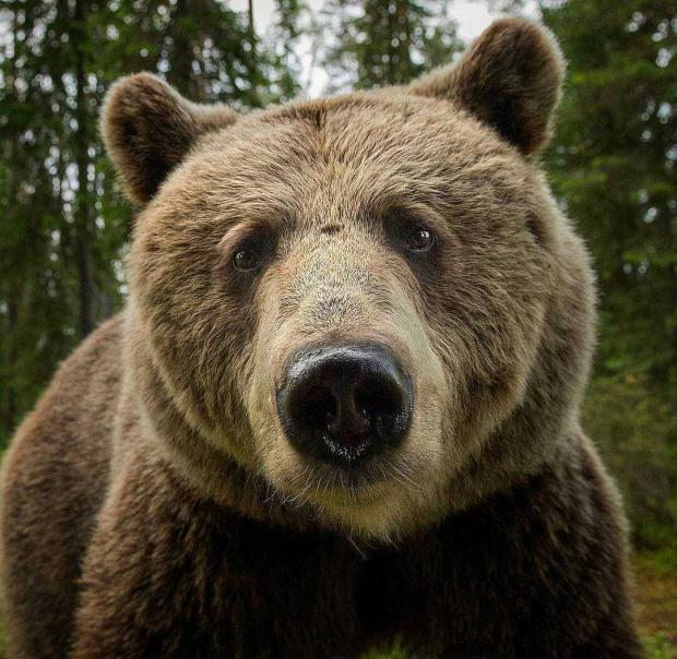 Интересные факты: все самое любопытное про медведей