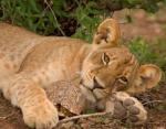 Забавные фото животных: знакомство черепахи и грозной львицы умиляет пользователей Сети
