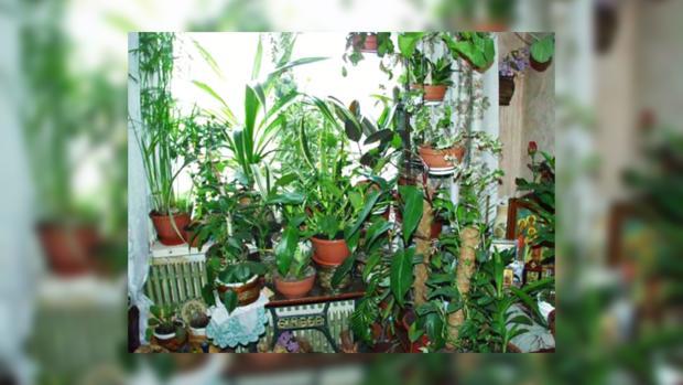 Семейные комнатные цветы 66