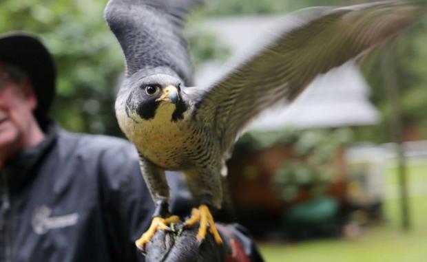 Соколы против голубей: метро Ванкувера нашло необычный способ отогнать стаи птиц от станций