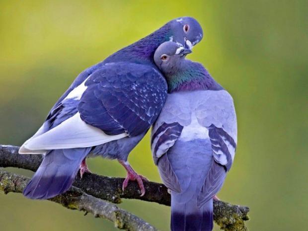 Соколы против голубей