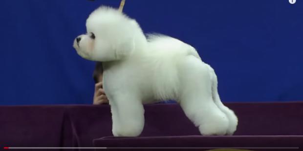 Конкурс красоты собак в Нью-Йорке: участие примут почти 3000 щенков