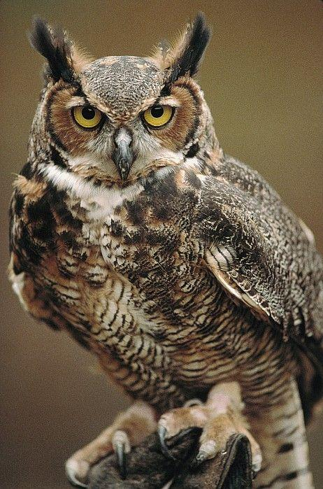 signficgance of owls Owls are birds from the order strigiformes, which includes about 200 species of mostly solitary and nocturnal birds of prey typified by an upright stance, a large, broad head, binocular vision, binaural hearing, sharp talons, and feathers adapted for silent flight.