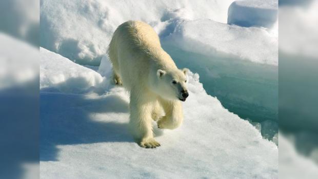Глобальное потепление грозит вымиранием полярных медведей