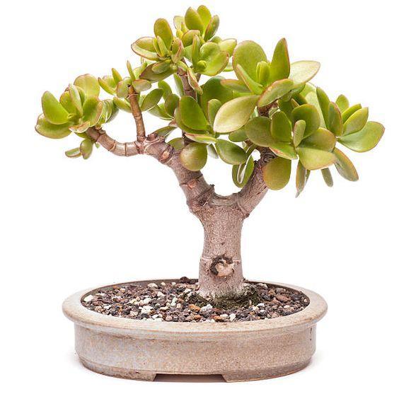Денежное дерево и другие растения которые требуют минимального ухода