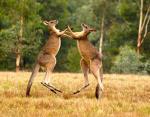 Кенгуру - не милахи, это двухметровые агрессивные силачи