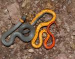 Королевская ошейниковая змея с разноцветными кольцами