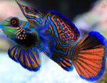 Мандаринка (рыбка)