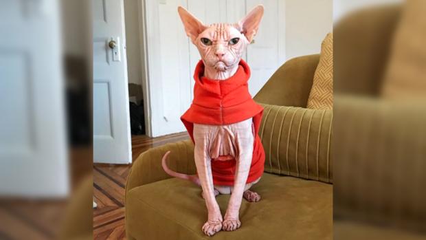 Новая звезда Инстаграм: кошка-сфинкс по имени Локи умиляет и пугает Сеть одновременно
