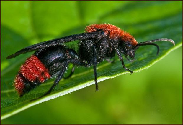 Красный бархатный муравей