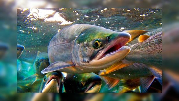 На берег Австралии вымыло несколько сотен лососей: ученые исследуют необычное явление