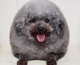 Фото собак: японский грумер творит потрясающие вещи со своими клиентами