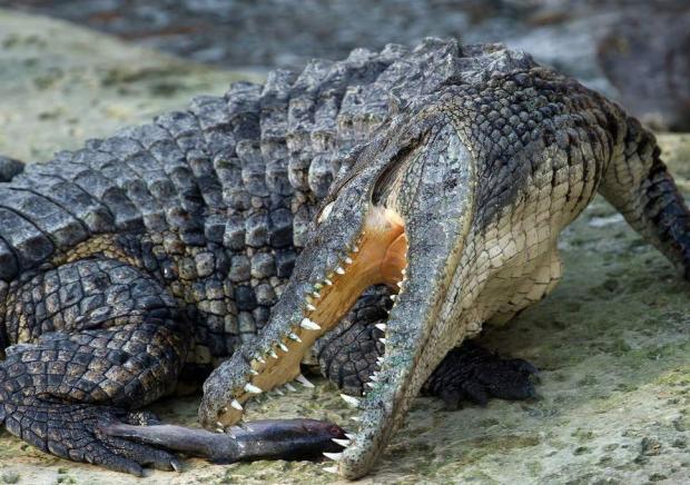 ВЭфиопии крокодил убил первосвященника, который крестил людей уозера