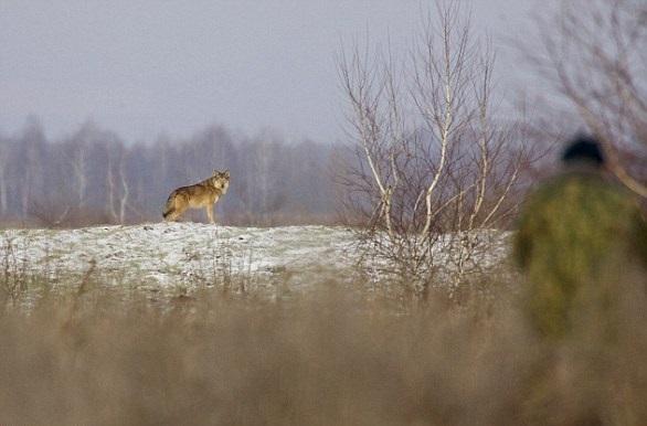 Ученые впервый раз отследили сбежавшего изЧернобыля волка