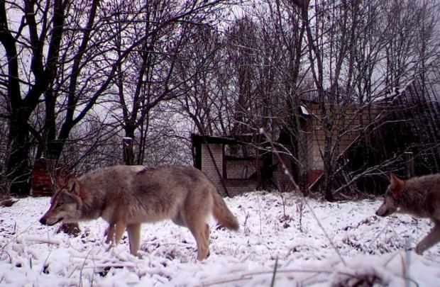 Ученые впервый раз отследили волка, сбежавшего иззоны Чернобыльской АЭС