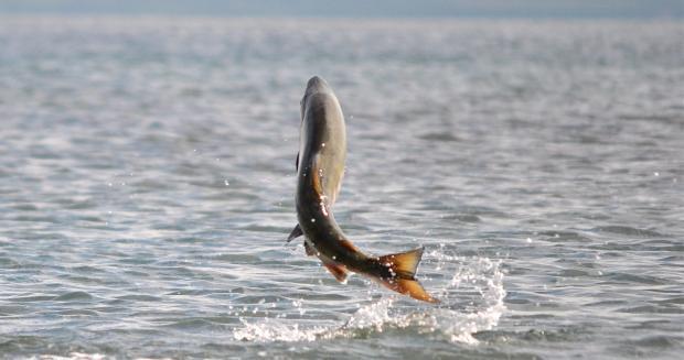 """Рыбный """"побег"""" в Чили: после шторма ферму самовольно покинули 900 000 лососей"""