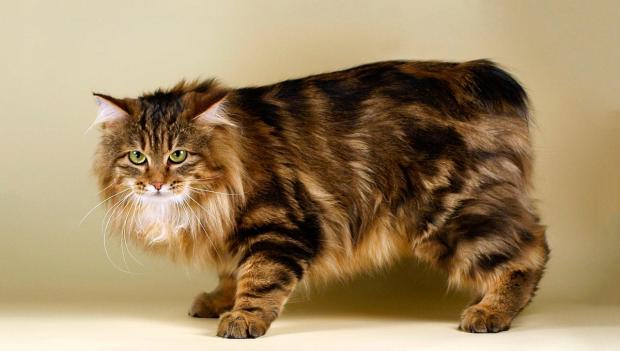 породы кошек - Мэнкс