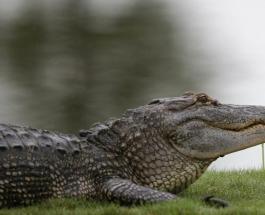 Фотоссесия хрупкой девушки с хищником: необычная дружба человека и аллигатора