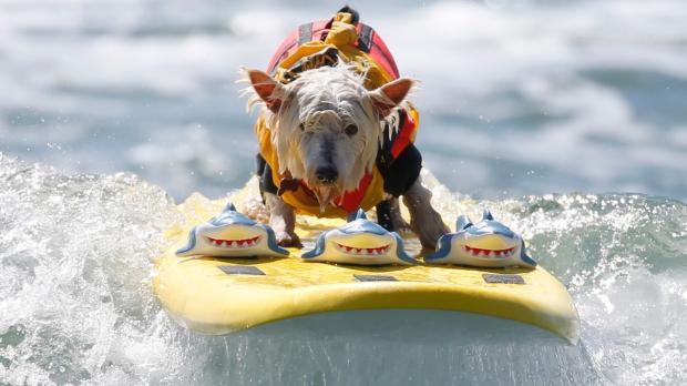 Собаки - отличные серфингисты: в США прошло необычное соревнование
