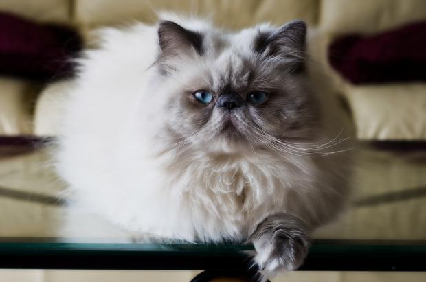 породы кошек - Гималайскаякошка
