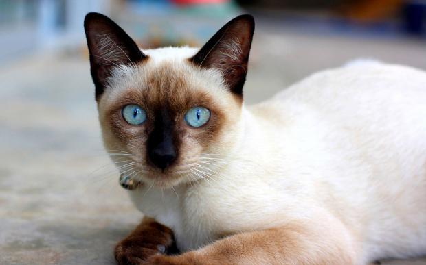 породы кошек - Сиамские кошки