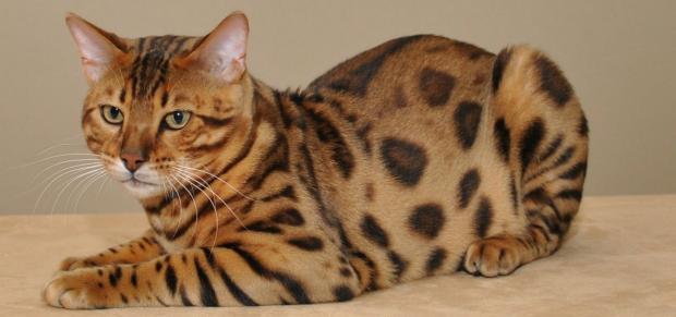 породы кошек - Бенгальская кошка