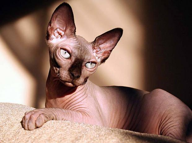 породы кошек - Сфинкс