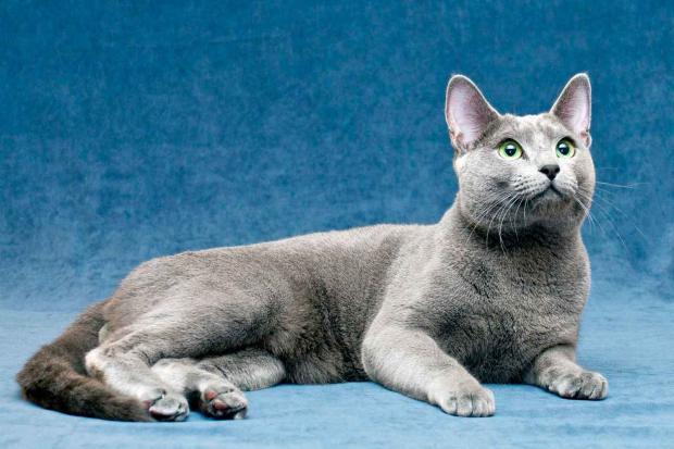 породы кошек - Русская голубая