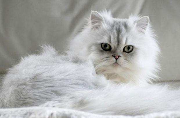породы кошек - Персидская кошка