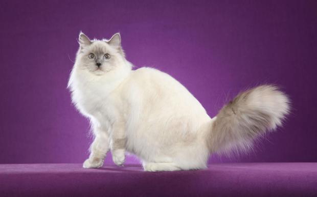 породы кошек - Рэгдолл