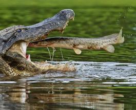 Огромный аллигатор напугал семью американцев: рептилия заблокировала людям выход из дома