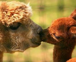 """Милая драка в мире животных: дикие ламы """"обнимаясь"""" борются за территорию"""