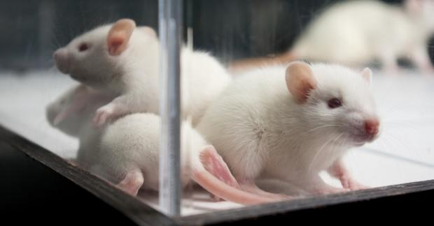 подопытные крысы