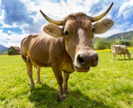 Пилить или не пилить: в Швейцарии на референдуме жители решат судьбу рогов коз и коров