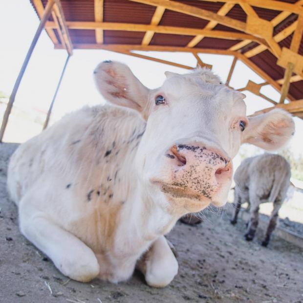 Самые большие коровы для детей