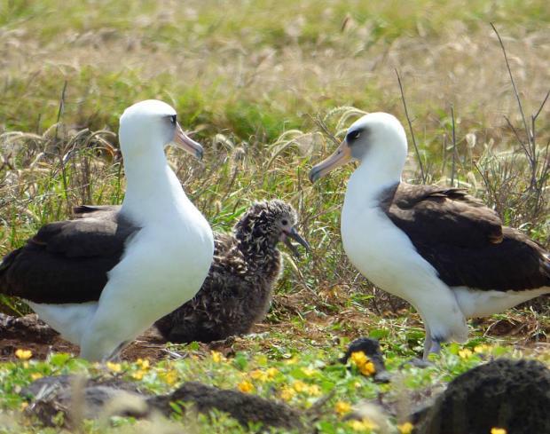 самый старый альбатрос
