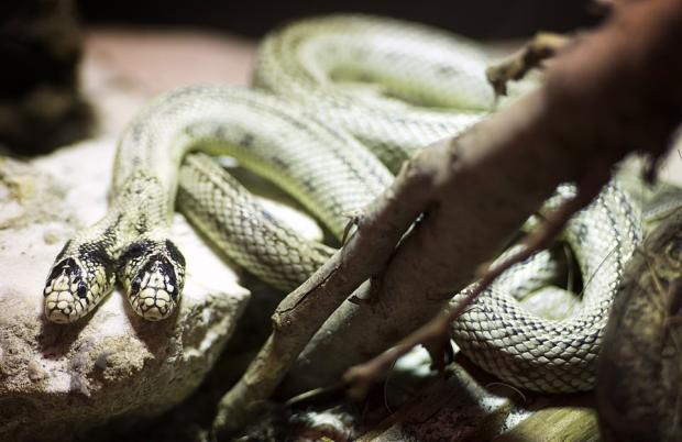 двуглавый змей