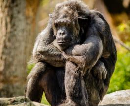 Права человека хотят предоставить обезьянам: в Швейцарии проведут референдум