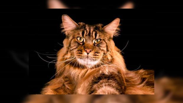 Самый длинный в мире кот: Баривел – новоиспеченный обладатель рекорда Гиннесса