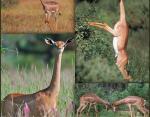 Жирафовая газель