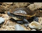 Австралийская змеиношеяя черепаха
