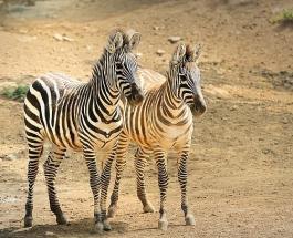 Зачем зебрам полоски: ученые провели интересный эксперимент