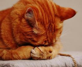 Кот-воришка о котором мечтают холостяки: питомец тащит домой чужие носки со всего района