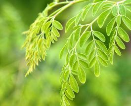 Чудо-дерево моринга - уникальное растение для оздоровления всего организма