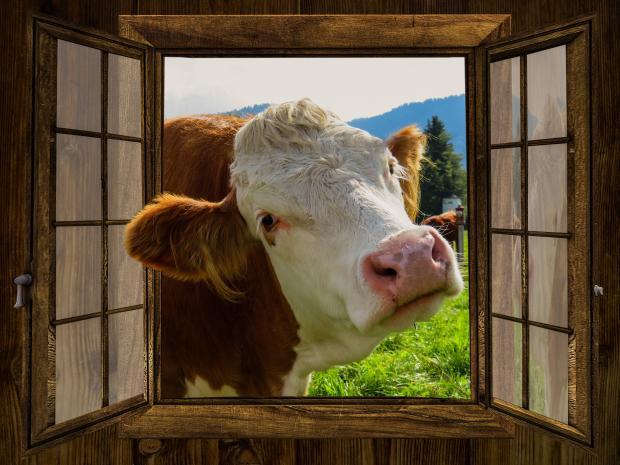 Найти пару корове онлайн
